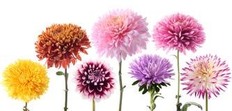 Reeks dahliabloemen in verschillende kleur stock afbeelding