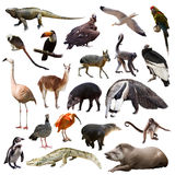 Reeks dieren van Zuid-Amerika over witte achtergrond Royalty-vrije Stock Afbeelding