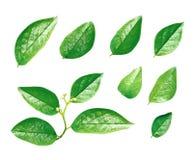 Reeks groene bladeren die op wit wordt geïsoleerd royalty-vrije stock afbeeldingen