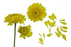 Reeks heldere gele die chrysanten op witte bachground wordt ge?soleerd ??n of andere bloem met knop schoot bij verschillende hoek royalty-vrije stock foto's