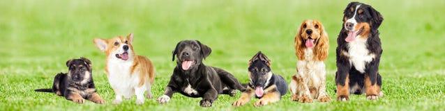 Reeks honden op groen gras Stock Fotografie