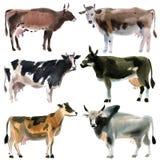 Reeks koeien Waterverfillustratie op witte achtergrond stock illustratie