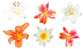 Reeks leliebloemen op wit wordt geïsoleerd dat Royalty-vrije Stock Fotografie