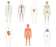 Reeks menselijke organen en systemen stock afbeeldingen