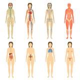 Reeks menselijke organen en systemen van het lichaam stock foto