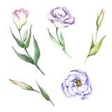 Reeks met bloemeneustoma De hand trekt waterverfillustratie Royalty-vrije Stock Afbeeldingen