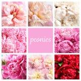 Reeks met mooie pioenbloemen royalty-vrije stock fotografie