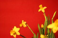 Reeks mooie gele gele narcissen op rode achtergrond Royalty-vrije Stock Afbeeldingen