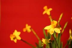 Reeks mooie gele gele narcissen op rode achtergrond Stock Afbeelding