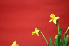 Reeks mooie gele gele narcissen op rode achtergrond Stock Foto's