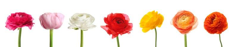 Reeks mooie ranunculus bloemen royalty-vrije stock afbeelding