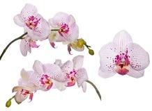 Reeks orchideeën met roze vlekken en lijnen Royalty-vrije Stock Foto