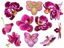 Reeks Orchideebloemen op Witte Achtergrond wordt geïsoleerd die Stock Afbeelding