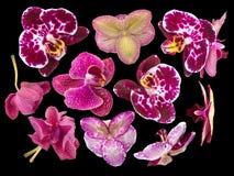 Reeks Orchideebloemen op Zwarte Achtergrond wordt geïsoleerd die Royalty-vrije Stock Foto