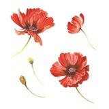 Reeks papaversbloemen De hand trekt waterverfillustratie Royalty-vrije Stock Afbeelding