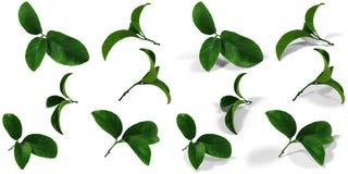 Reeks-6 punten 12 var Mandarijn groene die bladeren met-zonder een originele schaduw over een witte en transparante achtergrond P stock foto