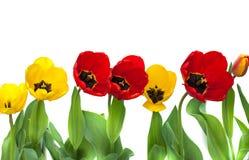Reeks rode en gele tulpen bloemen op de witte achtergrond worden geïsoleerd die Stock Fotografie