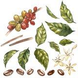 Reeks Rode geïsoleerde koffiearabica bonen op tak met bloemen, waterverfillustratie vector illustratie