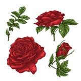 Reeks rode roze bloem, knop en bladeren Geïsoleerd op Witte Vectorillustratie Stock Afbeeldingen