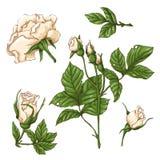 Reeks rode roze bloem, knop en bladeren Geïsoleerd op Witte Vectorillustratie Stock Foto's