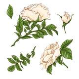 Reeks rode roze bloem, knop en bladeren Geïsoleerd op Witte Vectorillustratie Royalty-vrije Stock Fotografie