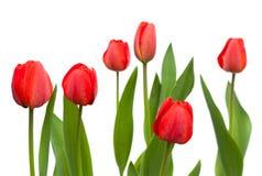 Reeks rode tulpen bloemen op de witte achtergrond worden geïsoleerd die Stock Fotografie