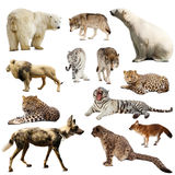 Reeks roofzuchtige zoogdieren over wit Royalty-vrije Stock Foto
