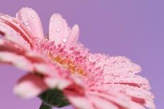 Reeks roze gerberabloemen royalty-vrije stock afbeelding