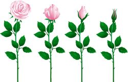 Reeks roze rozen royalty-vrije illustratie