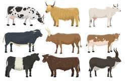 Reeks stieren en het vee het rundvleeslandbouw van de zoogdieraard van het koeienlandbouwbedrijf dierlijke en binnenlandse landel royalty-vrije illustratie