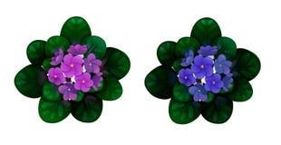 Reeks van Afrikaans viooltjes, viooltje en blauw Royalty-vrije Stock Afbeeldingen