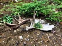 Reeks van Amerikaanse elandenhoorn van Algonquin park stock afbeeldingen
