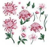 Reeks van botanische bloemenchrysant De vectorhand trekt gouden-madeliefje vector illustratie