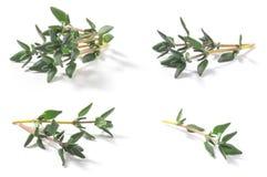 Reeks van de Zwezerik vulgaris struik van Thyme verse kruiden stock afbeeldingen