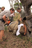 Reeks 1 van 6: Dehorning van rinoceroskalf na geworpen Royalty-vrije Stock Foto's