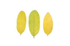 Reeks van drie de herfstbladeren in verschillende staten van het vernietigen Stock Afbeeldingen