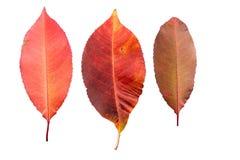 Reeks van drie de herfstbladeren in verschillende staten van het vernietigen Royalty-vrije Stock Foto