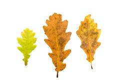 Reeks van drie de herfstbladeren in verschillende staten van het vernietigen Stock Fotografie