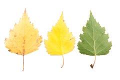 Reeks van drie de herfstbladeren in verschillende staten van het vernietigen Royalty-vrije Stock Afbeeldingen