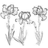 Reeks van drie zwart-witte die close-upbeelden van irissen op een witte achtergrond worden geïsoleerd royalty-vrije illustratie