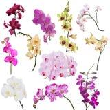Reeks van elf orchidee bloemendietakken op wit wordt geïsoleerd Stock Afbeeldingen