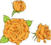 Reeks van 3 geïsoleerde gele rozen Stock Fotografie