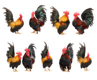 Reeks van geïsoleerde kippen klein Stock Afbeeldingen