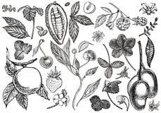 Reeks van grafische botanische illustratie Mangofruit, Cacao en Bessenaardbei, framboos, appel, ge?soleerde kers stock illustratie