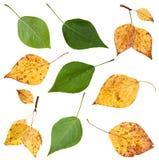 Reeks van groene en gele de herfstbladeren van populier Stock Foto's