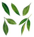 Reeks van groene scherpe de waterverfillustratie van citrusvruchtenbladeren royalty-vrije illustratie