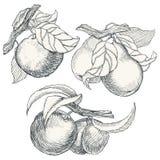 Reeks van hoogst gedetailleerd hand getrokken fruit Royalty-vrije Stock Foto's