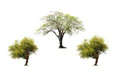 Reeks van Indische jujubeboom en groene die boom op witte achtergrond wordt geïsoleerd stock afbeelding