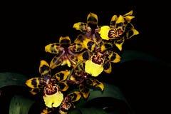 Reeks van oncidiumorchidee Stock Afbeelding