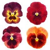 Reeks van rood viooltje Royalty-vrije Stock Afbeeldingen